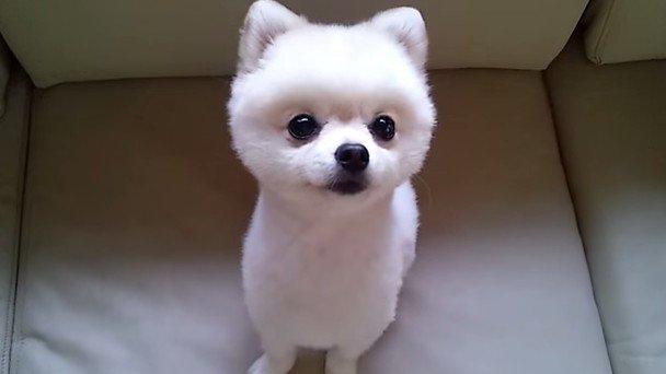 【癒し動画】おねだり上手な犬、ポメラニアンが可愛いっ♪のアイキャッチ