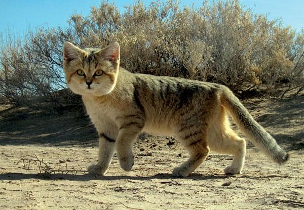 砂漠のネコ