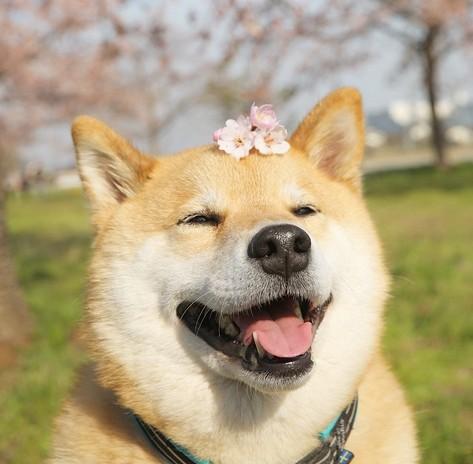 桜の花を乗せるまるちゃん。