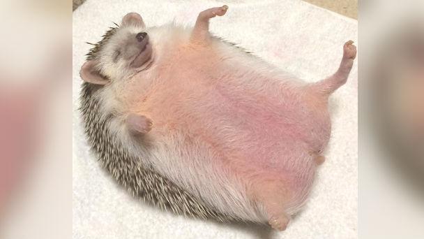 ハリネズミのハナちゃん♡マッサージが気持ち良すぎて寝る姿がカワイイと話題!のアイキャッチ