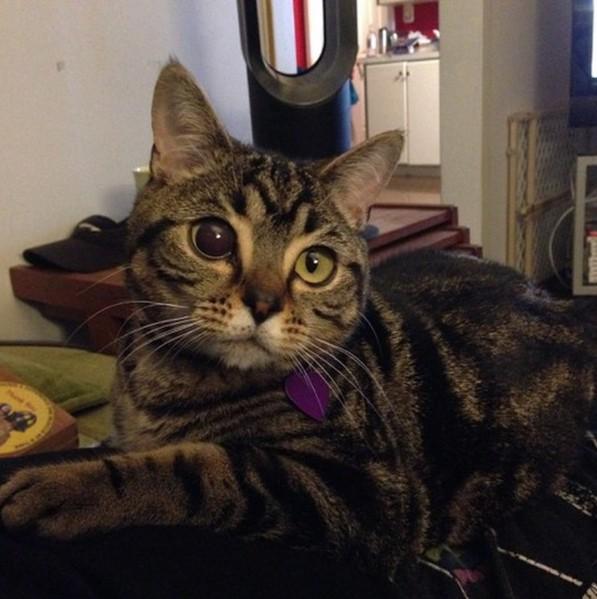 水晶体脱臼の猫