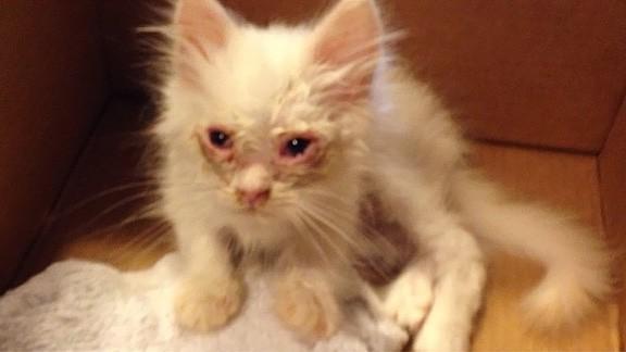 瀕死状態の子猫を保護。元気になった姿は、ふわふわもふもふの白い天使だった!のアイキャッチ