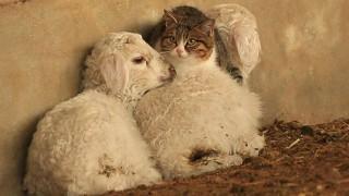 羊で暖まる猫