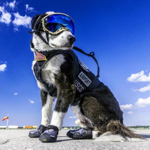 ボーダーコリーの番犬