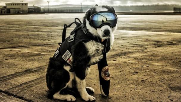 空港の番犬として働くボーダーコリーのパイパー君がかっこよすぎる!のアイキャッチ