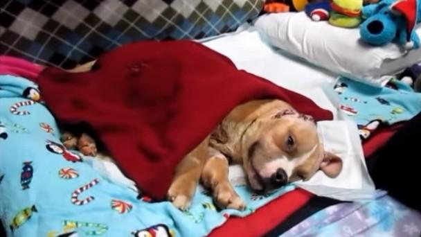 闘犬の噛ませ犬にされた幼犬のヴィニー。瀕死から回復し元気な姿にのアイキャッチ