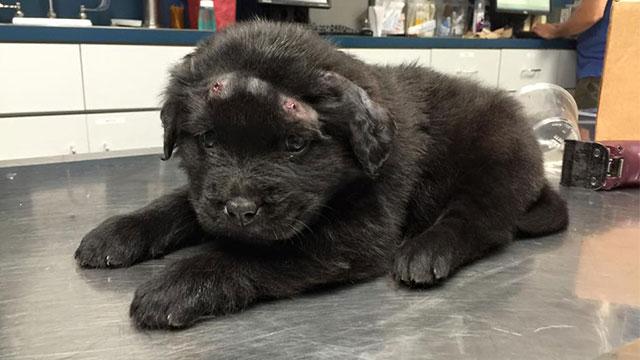 エアガンで18発ものBB弾を打ち込まれた子犬のブロディ。飼い主が見つかり新しい生活へのアイキャッチ