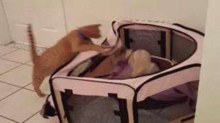 猫が犬を襲う