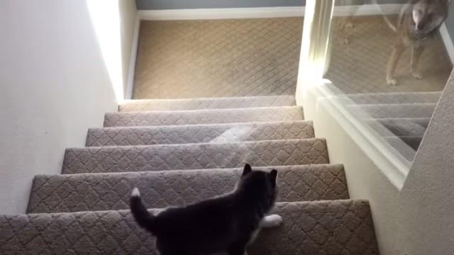 ハスキー子犬「階段を降りる試練」ママ犬はそっと見守るのアイキャッチ