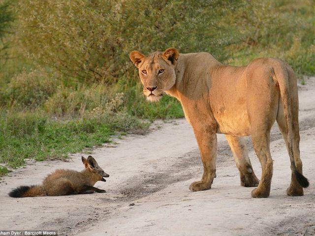 ライオンと狐2
