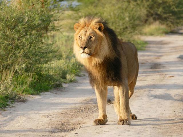 ライオンと狐3