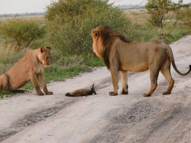 ライオンと狐4