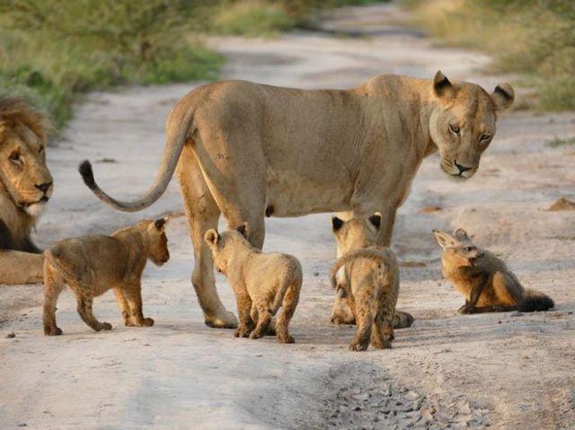 ライオンと狐5
