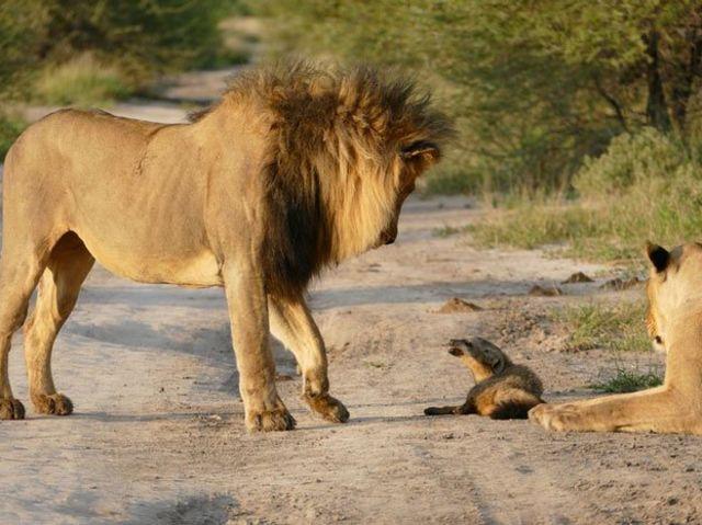 ライオンと狐6