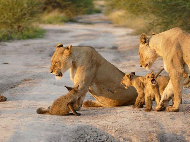 ライオンと狐7