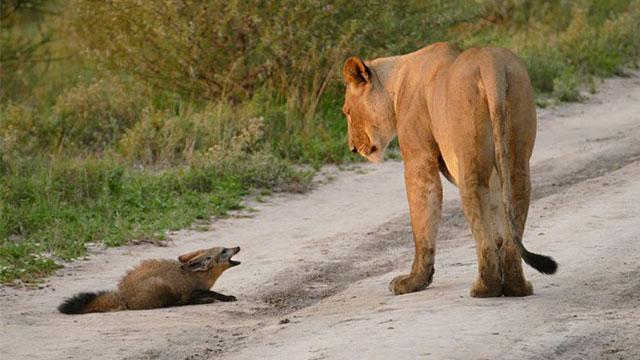 お腹を空かせたライオンが怪我した子ぎつねに遭遇。絶体絶命の子ぎつねの運命はいかに?のアイキャッチ