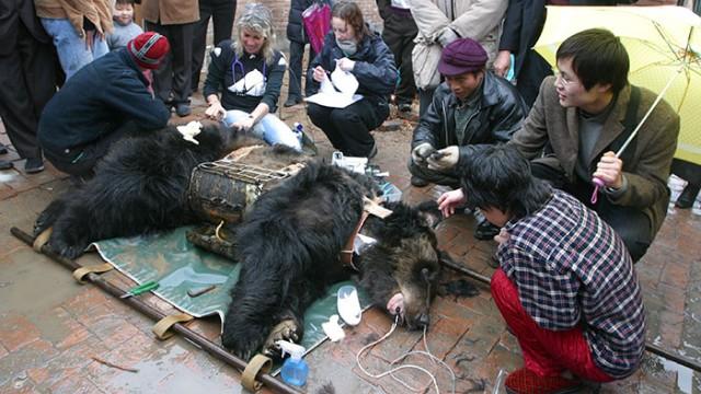 中国医薬のため「胆汁」を搾取され続けた熊。小さな檻で監禁、そして痛々しい金属ベストのアイキャッチ