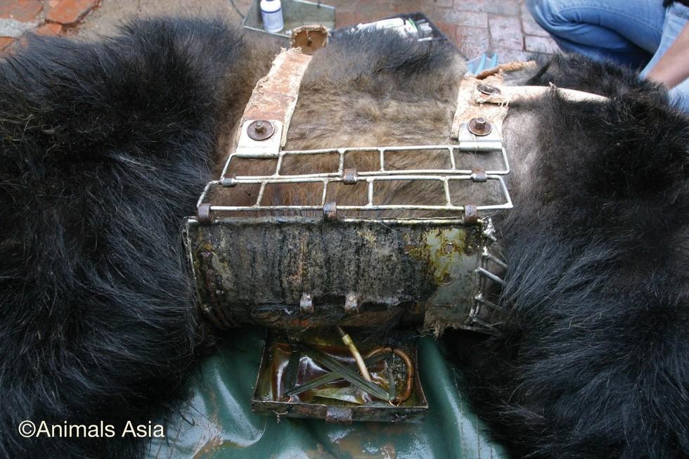 監禁され胆汁取られた熊2