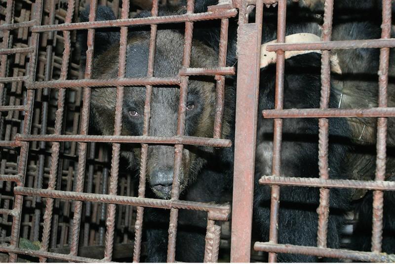 監禁され胆汁取られた熊3
