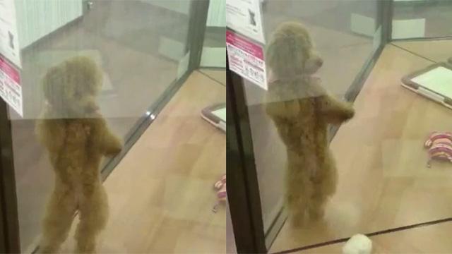 アホの坂田!カズダンス!トイプードルが軽快なステップで両手をぐるぐる回す動画が話題のアイキャッチ