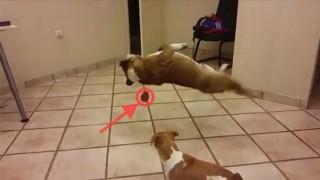 犬のジャンプ