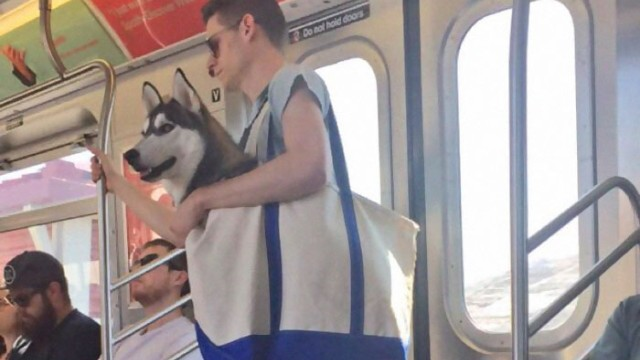バッグから堂々と顔を出すハスキー!ここ地下鉄なんですが…のアイキャッチ