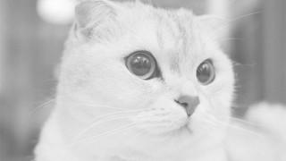 猫スコティッシュフォールド
