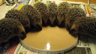 ハリネズミの子供の食事
