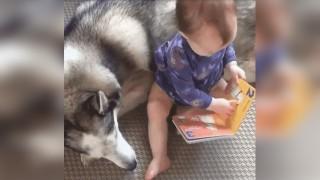 赤ちゃんとハスキー