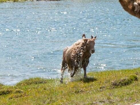 川で洗われた羊