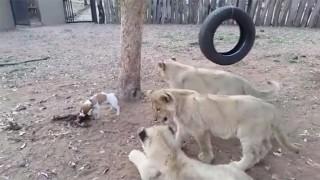 子犬とライオンの赤ちゃん