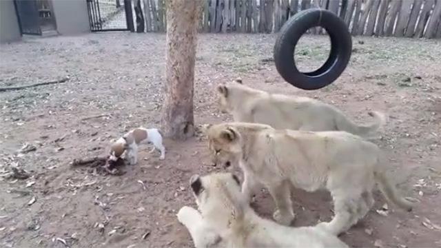 絶体絶命の大ピンチ!3頭のライオンに取り囲まれた子犬…まさかの展開に!のアイキャッチ