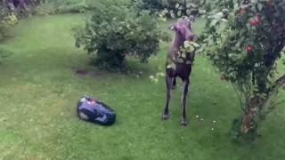 ムース(ヘラジカ)