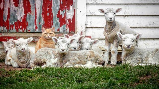 自分のことを「子羊」だと思う「猫」…群れのボスになる(!!!)のアイキャッチ