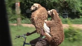 海外の羊の運び方