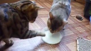ミルクの奪い合い
