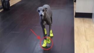犬に靴を履かせる