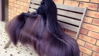 毛がサラサラ犬