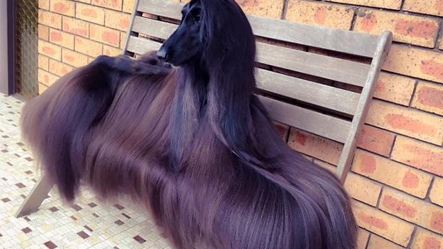 サラサラすぎる毛を持つ犬、アフガンハウンドのティーちゃんが世界で話題!のアイキャッチ