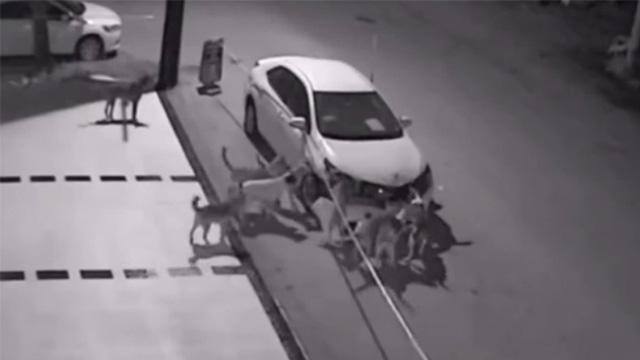 8匹野犬の群れが車を破壊!しかし、その理由を知り驚く…のアイキャッチ