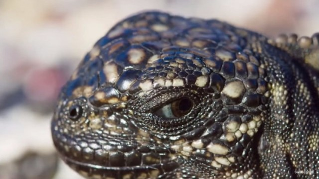 イグアナが複数のヘビから逃げるシーンが凄すぎる!生きるか死ぬか…。自然界の厳しさを感じる緊張の2分!のアイキャッチ