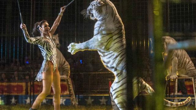 あなたはサーカスの動物たちがどんな扱いを受けているか知っていますか?…トラたちの物語。のアイキャッチ