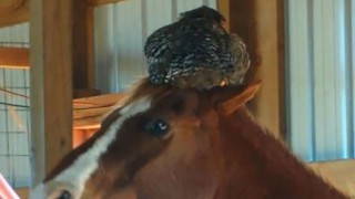 horse and chicken