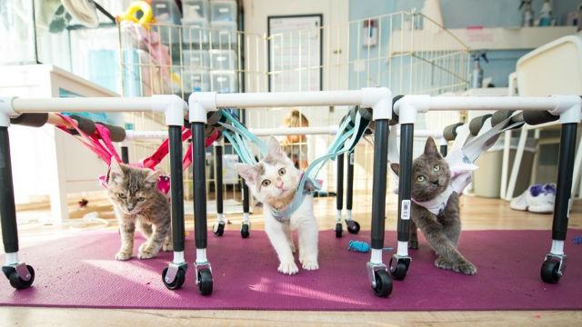 可愛すぎる! 歩けなかった子猫たちが歩行器をもらって練習したら…のアイキャッチ