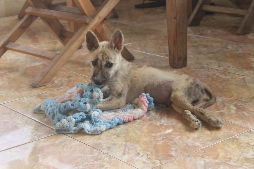 Tigas-tail-how-a-disabled-Bali-dog-never-gave-up-585106f7431da__880