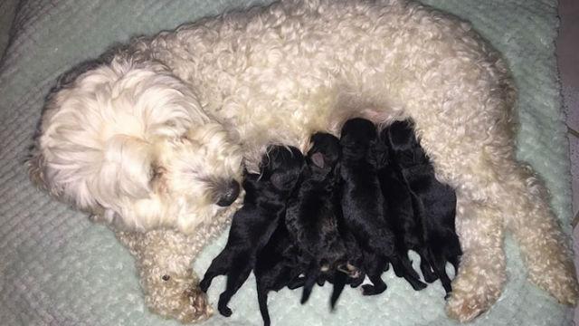なぜ?!白い犬同士でできた子どもは、黒い犬ばかり!のアイキャッチ