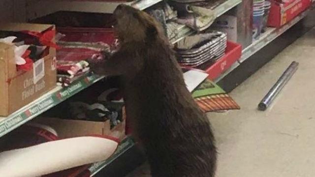 当店では天然物はおいてないんですね…。それでも諦めないお客さんビーバー!のアイキャッチ
