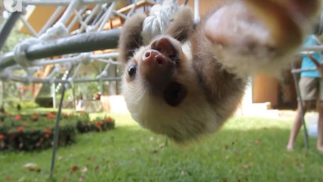 【何を言ってるかは解明中】ナマケモノの赤ちゃんの必死なおしゃべりがスゴい!のアイキャッチ