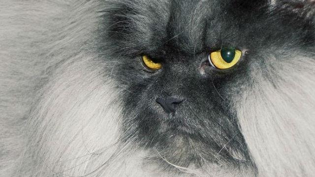 【迫力ありすぎ】世界で一番コワモテの猫?!のアイキャッチ