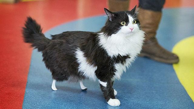 新しい試みが成功!後ろ脚を切断した猫、義足を得て再び歩けるようにのアイキャッチ